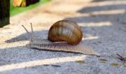 Snail in a hurry on the ground - Snail