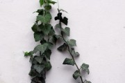 An ivy climbs on the house wall - A beautiful plant on the house wall