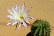 Rose-white cactus flower with yellow background - Cactus flower