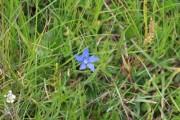 Nice blue flower in the grass - Gentian