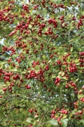 A rose hip bush with lot of berries - Rose hip bush