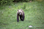 A bear cub walks in the grass   - Bear cub in the grass