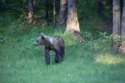 A bear cub comes out of the forest - Walking bear cub