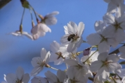 Japanese cherry blossom in the botanical garden - Cherry flower
