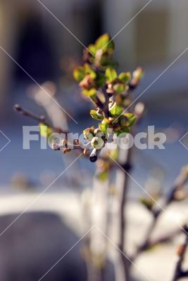 A budding tree branch - Closeup of a budding tree branch in spring