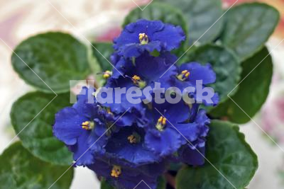African violet - Close-up of a pot with blue Saintpaulia ionantha