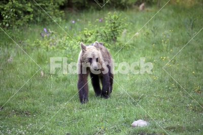 Bear cub in the grass - A bear cub walks in the grass