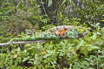 Chameleon in the jungle - Multi-coloured chameleon in the jungle