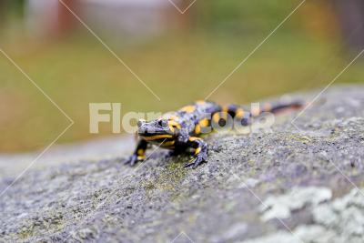 Fire salamander - Closeup of a fire salamander on a stone