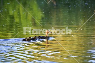 Mother and children - A mallard and its ducklings