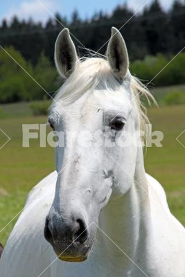 Portrait of a horse - A white horse looking into the camera.