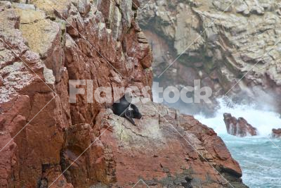 Relaxing sea lion - Lonely sea lion relaxing on a rocky coast