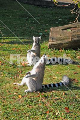 Sunbathing ring-tailed lemurs - Lemurs enjoying the autumn sun in the zoo.