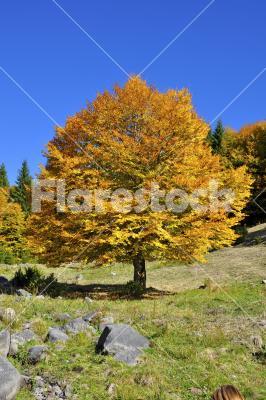 Yellow tree - Nice yellow tree in autumn